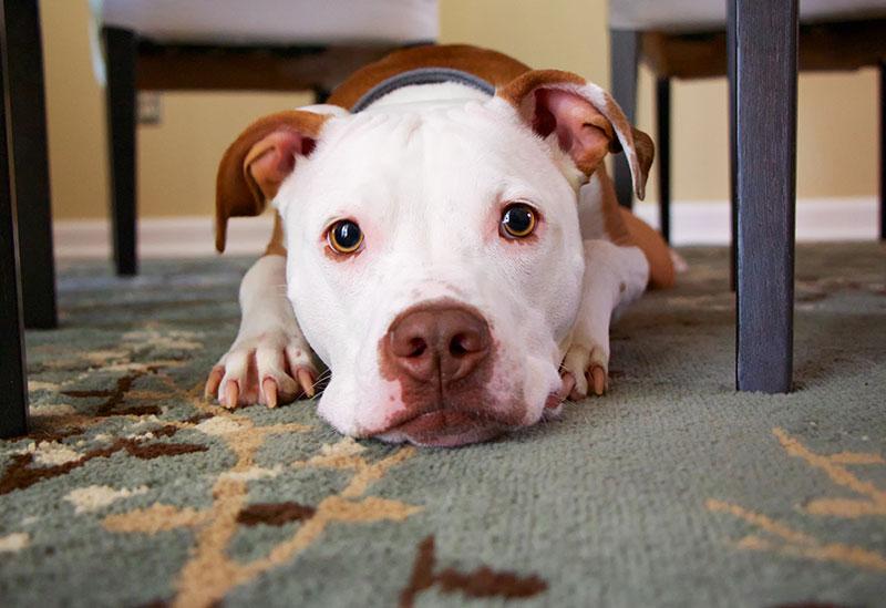licencia-perros-peligrosos-malaga
